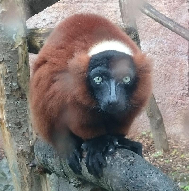 Lemur Mulhouse Zoo