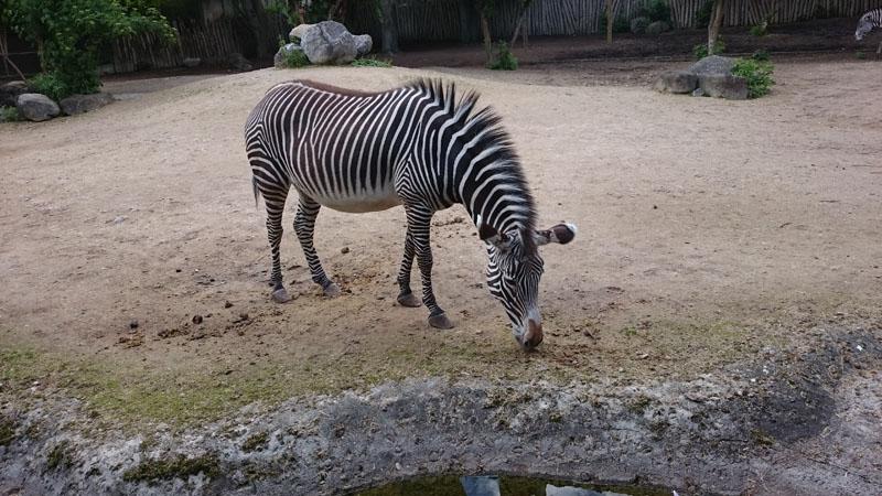 Zebra Mulhouse Zoo