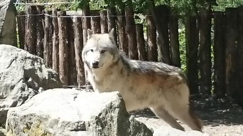 Wolf Mulhouse Zoo