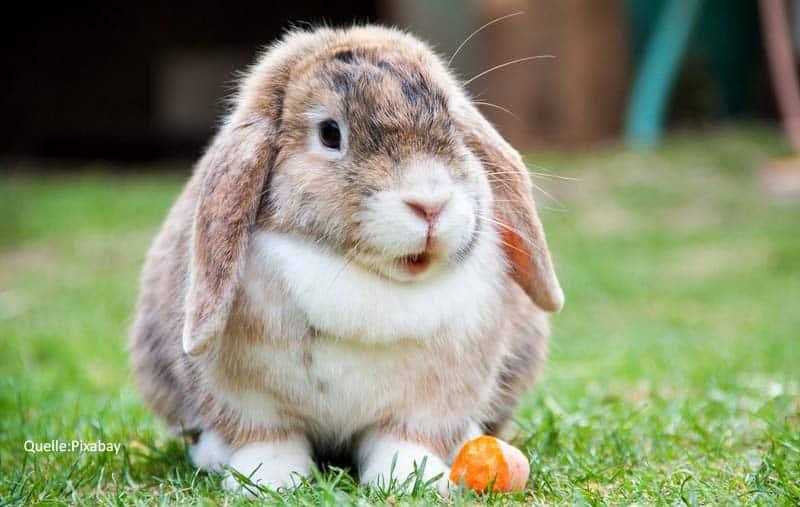 kaninchen traumreise schlappohr